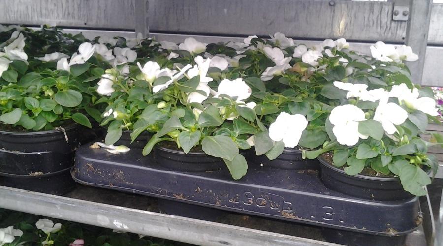 zaai-en-stek-perkplanten